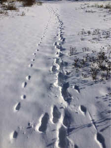 A busy wildlife travel route along a frozen creek showing fox tracks (left), wolf tracks (middle) and, possibly, coyote tracks (right).