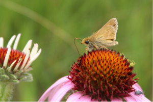 Male Dakota skipper on a South Dakota prairie, nectaring on purple coneflower.